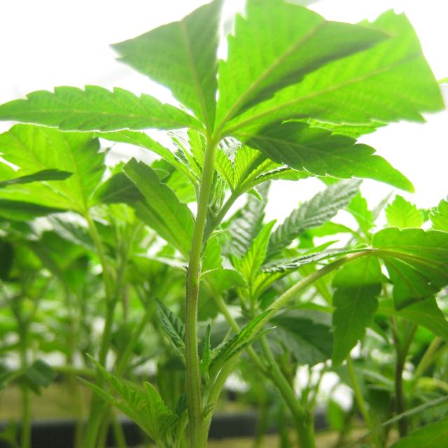 DHN BLUEBERRY MUFFIN PREMIUM CLONE| cannabisstores